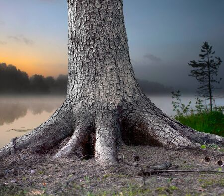 rooted: Big tree firmly rooted in the forest, with foggy evening landscape in background