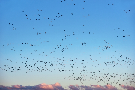 canada goose: Sky full of canada geese getting ready to migrate in the autumn