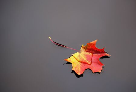 floating on water: red and yellow maple leaf in calm grey water Stock Photo