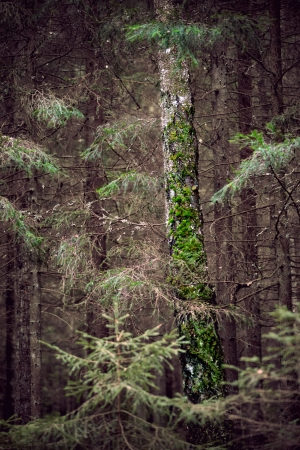 Old tree trunk with moss in dark forest photo