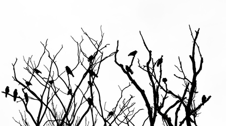 Silhouette of tree with bare branches on white and many  jackdaw birds Stock Photo - 16453004