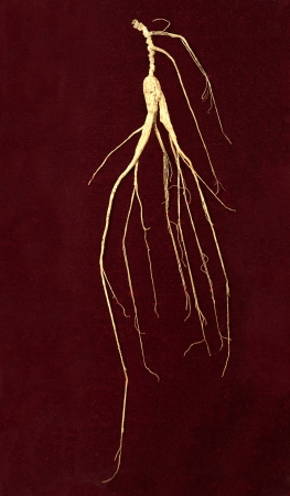 ginseng: wild ginseng root on deep red background