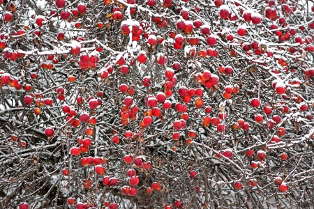 APPLE trees: A lot of red apples in tree in nwinter
