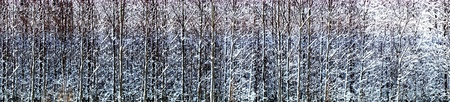 Panoramic view of thick forest with small snow covered trees Stock Photo - 16651970