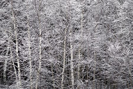 Background with thick forest of birch trees covered in snow Stock Photo - 16651969