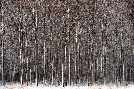 Thick forest with small trees covered in snow Stock Photo - 16651973