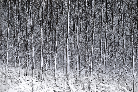 Thick forest with small trees covered in snow Stock Photo - 16651968