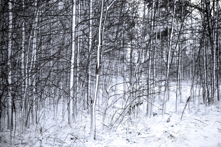 Thick forest with small trees covered in snow Stock Photo - 16651962