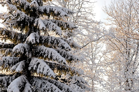 Spruce tree with branches covered in snow Stock Photo - 16651961