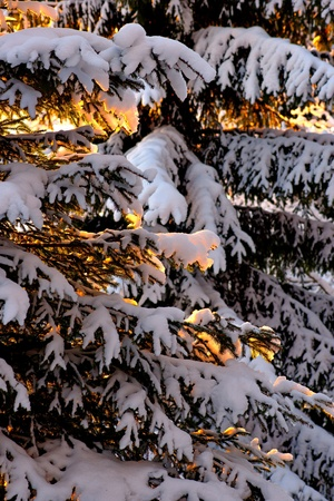 Close up of spruce tree with sun lit branches Stock Photo - 16651960