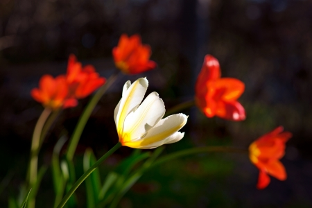 whie: Yellow and whie tulip with red tulips inn background Stock Photo