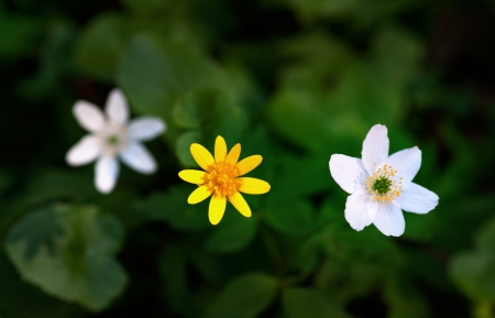windflower: three wild spring flowers, windflower and lesser celandine, seen from above Stock Photo