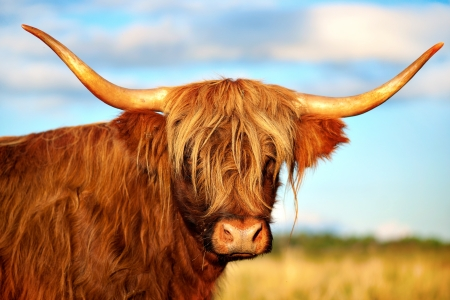 closeup cow face: Close up of scottish highland cow in field