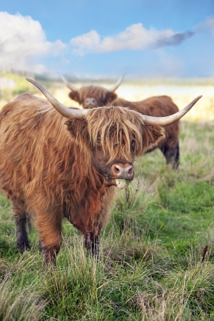 closeup cow face: grazing scottish highland cow in field