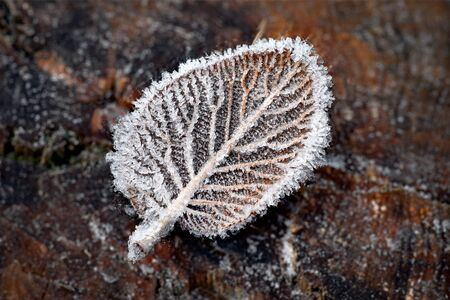rime frost: Close up of leaf with ice crystals on tree stump  The whole leaf in focus  Stock Photo
