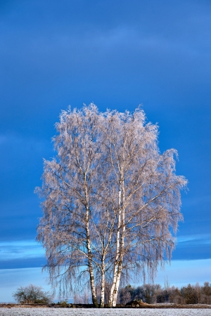 rime frost: Birch trees with rime frost on blue sky Stock Photo