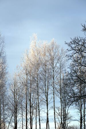 rime frost: Birch trees with rime frost in sunshine on blue sky