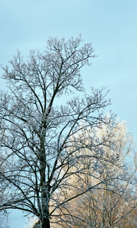 rime frost: Bare tree with rime frost in sunshine Stock Photo