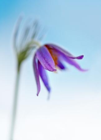 Close up of purple pasque flower with narrow DOF Stock Photo - 17247708