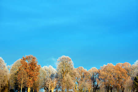 rime frost: Colorful trees with rime frost in sunshine on blue sky