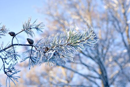 rime frost: Branch of pine tree with rime frost on needles