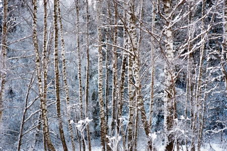 rime frost: Trunks of birch trees in snow and rime frost