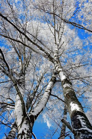 rime frost: Low angle view of birch trees with rime frost on blue winter sky