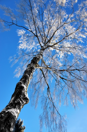 rime frost: birch tree with rime frost on blue winter sky