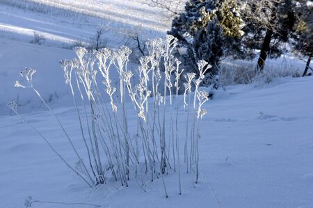 rime frost: Plants with rime frost on sunny winter day