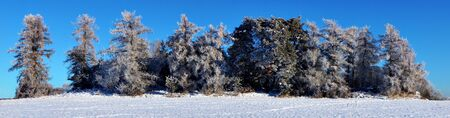 rime frost: Panoramic view of trees with rime frost