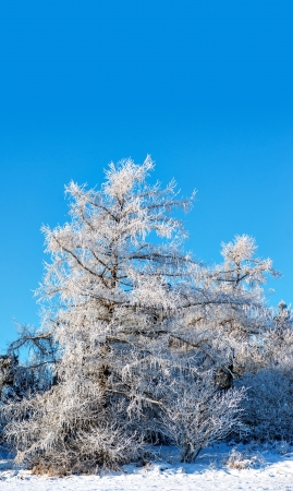 rime frost: Tree covered in rime frost on bright blue sky