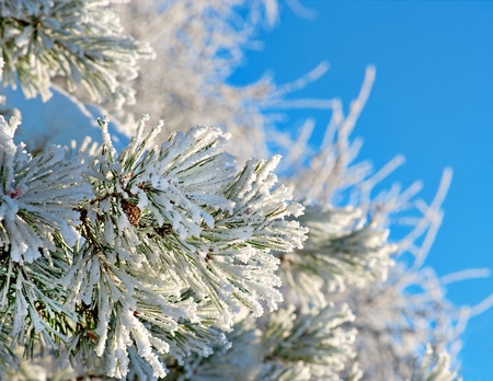 Snowy Pine Tree Close Up