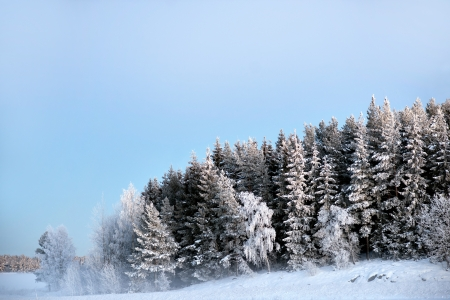 rime frost: Forest with spruce trees covered in snow and rime frost on cold foggy winter evening