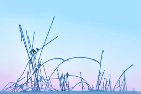 rime frost: Close up of grass with rime frost on purple pink and blue winter sky
