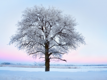 rime frost: Lone tree with rime frost and snow in winter landscape with pink sky Stock Photo