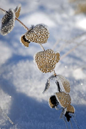 rime frost: Plant with brown leaves covered in rime frost and ice crystals