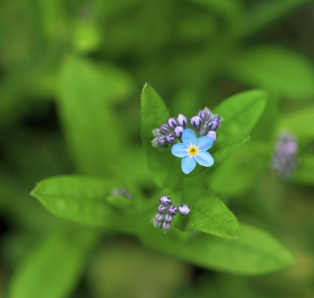 forget me not: Small wild forget-me-not flower with buds on bright green background