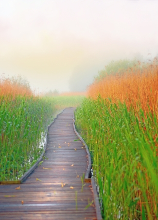 wooden boardwalk path in swamp with reeds in foggy morning