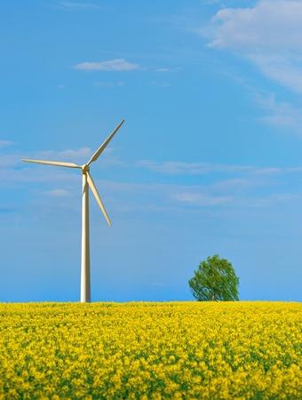 energia eolica: Turbinas e�licas en el campo con plantas de colza de semillas oleaginosas