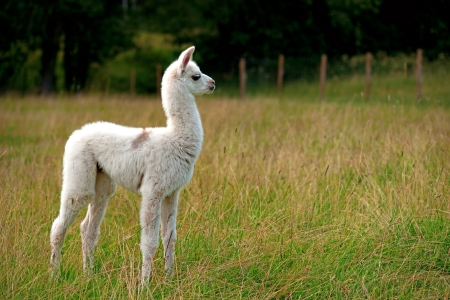 alpaca: White baby llama animal on green field