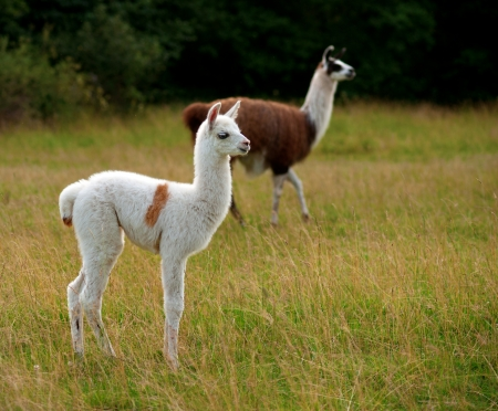 White baby llama animal with brown patches on green field photo
