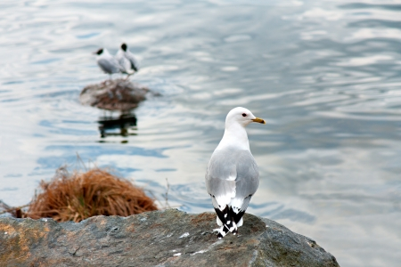 black headed: Seagull on small cliff with two black headed seagulls on rock in background Stock Photo