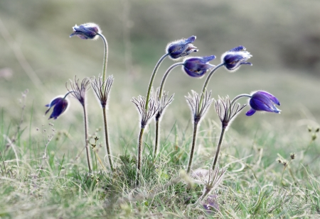 uncultivated: Pasque flowers on field in early morning Stock Photo