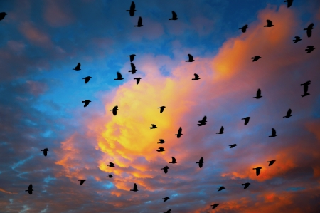 flock of jackdaws on orange and blue sky at sunset photo