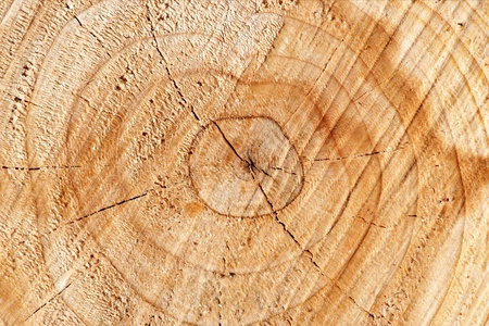 Background with cross section with annual rings of newly cut tree photo