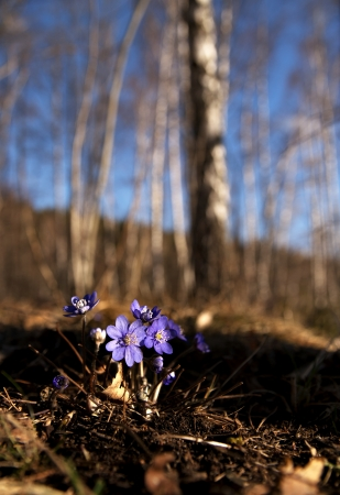 bunch of anemone hepatica in forest in early spring photo