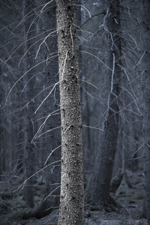 bare tree trunk with dry branches in spooky forest photo