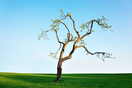 Old apple tree with fresh leaves on blue sky in spring photo