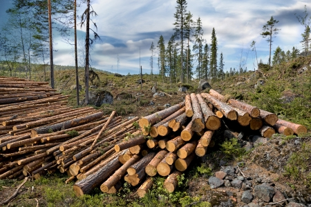 clearing: Pile of timber in Swedish forest Stock Photo