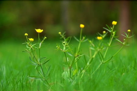 buttercup: wild buttercup flowers in grass in early summer